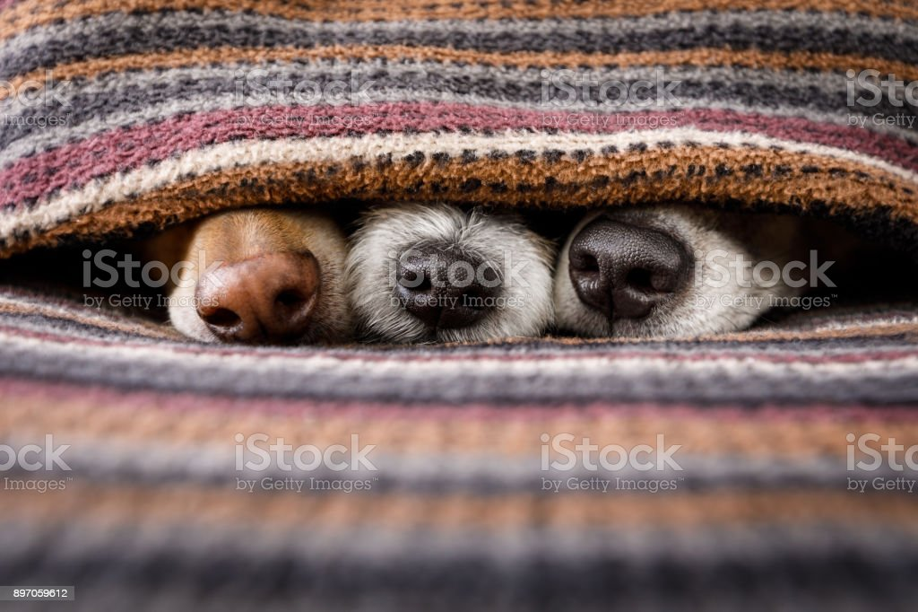 dogs under blanket together - foto stock