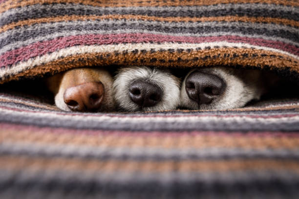 dogs under blanket together - naso foto e immagini stock