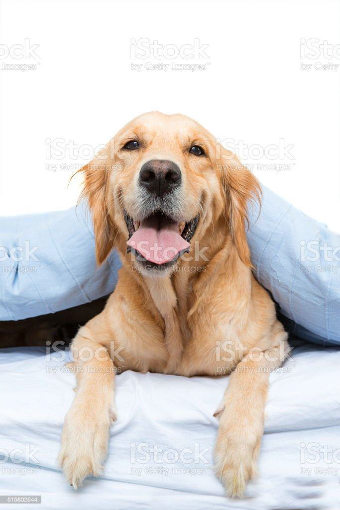 Dogs under sheet stock photo