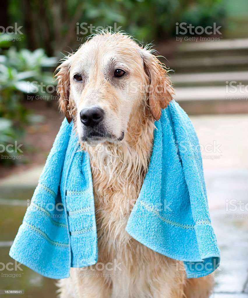 Dogs Washing Day royalty-free stock photo