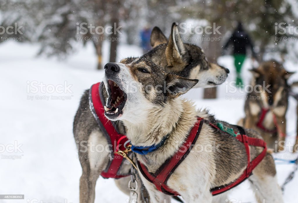 Hundeschlitten Hunde Heulen – Foto