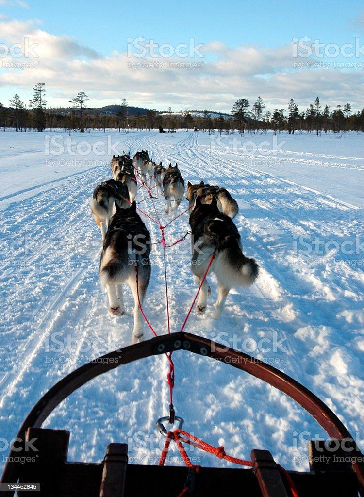 Dogsledding in Sweden royalty-free stock photo