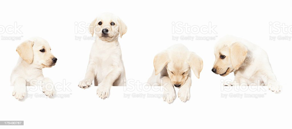 Dogs/Puppy Banner royalty-free stock photo