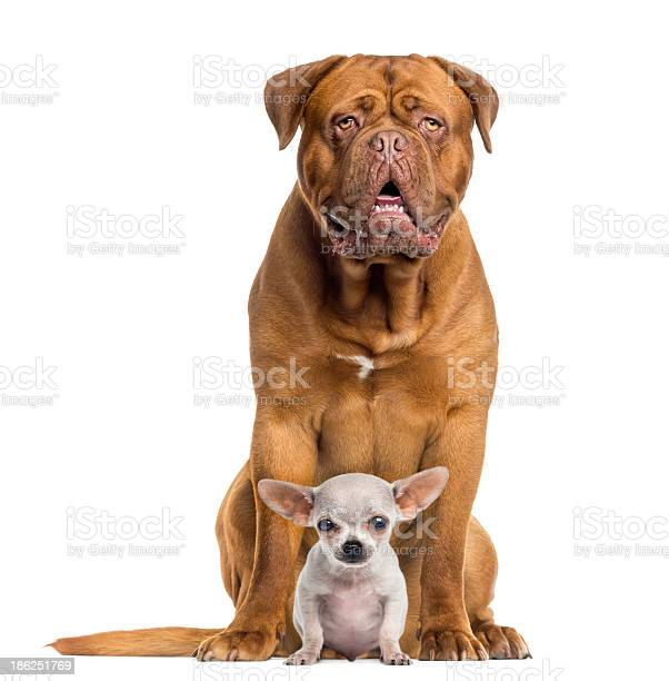 Dogue de bordeaux and baby chihuahua sitting facing isolated picture id186251769?b=1&k=6&m=186251769&s=612x612&h=9qgt0vkzmemszt8y4kakifmzsi8a2p6r8lzvhe wq7m=