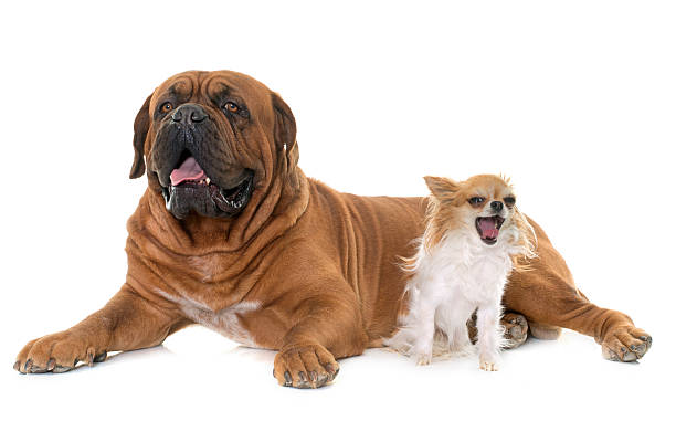 Dogue de Bordeaux and chihuahua stock photo
