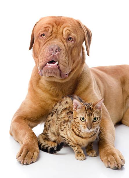 Dogue de bordeaux and leopard cat picture id166640962?b=1&k=6&m=166640962&s=612x612&w=0&h=syhsafwbmgl71r ka2fqatspqgpodjyfnqprpktg5ts=