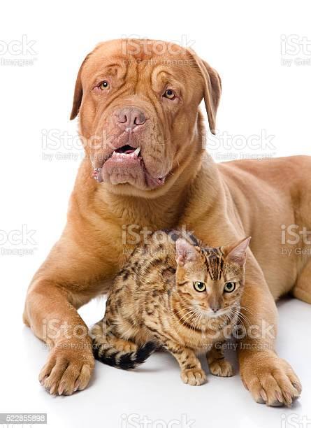 Dogue de bordeaux and leopard cat picture id522855898?b=1&k=6&m=522855898&s=612x612&h=xvbstagu u8eyw32nbsrcfptg9ekspqtvmptl7fyr9w=