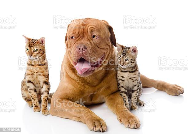 Dogue de bordeaux and leopard cats picture id522645408?b=1&k=6&m=522645408&s=612x612&h=dg4y0tjjtmckgs 5wdiftkoaj0v7qpowp5v4ta0sqqq=