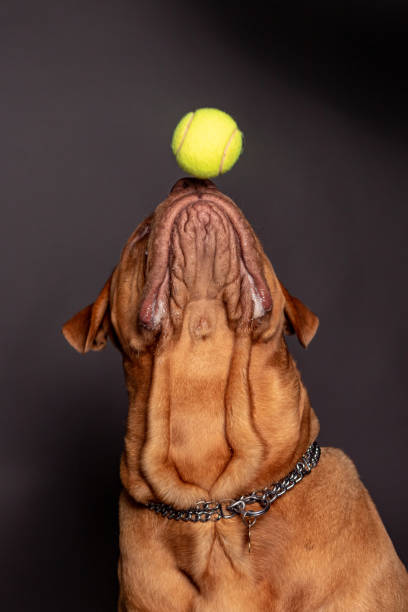 Dogue de bordeaux dog play with a tenns ball over his nose. stock photo