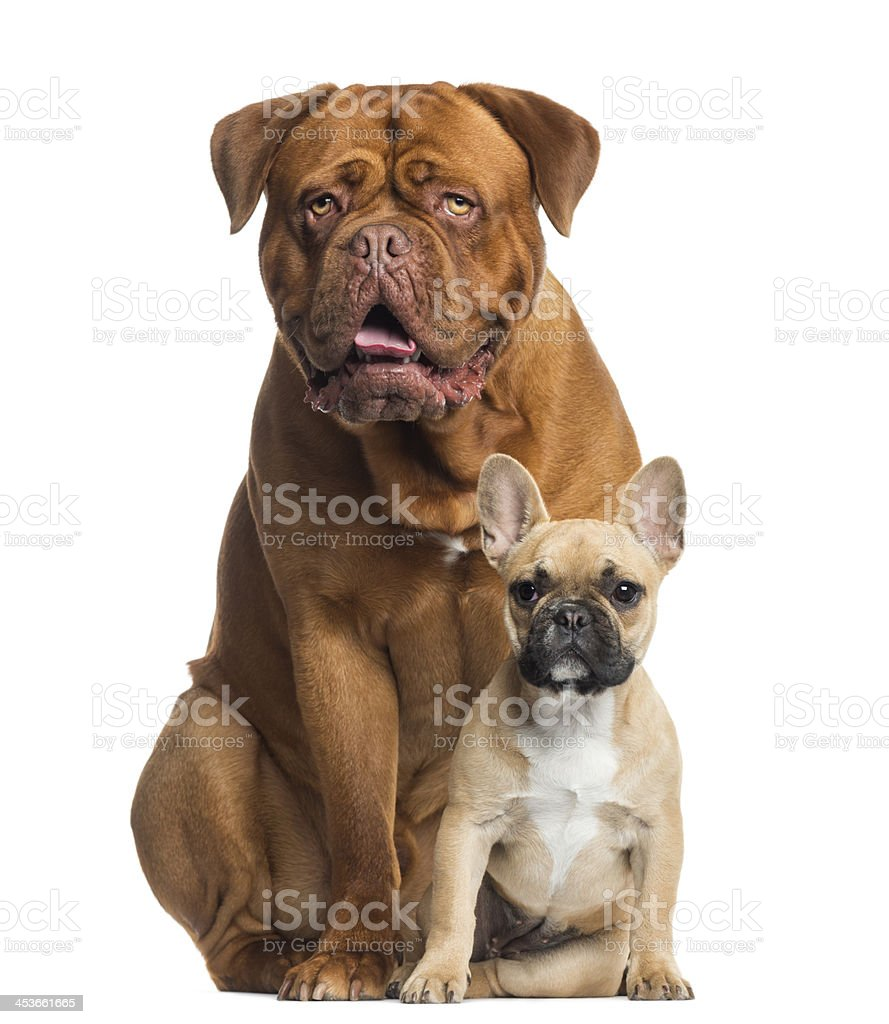 Dogue de Bordeaux panting and French bulldog puppy sitting royalty-free stock photo