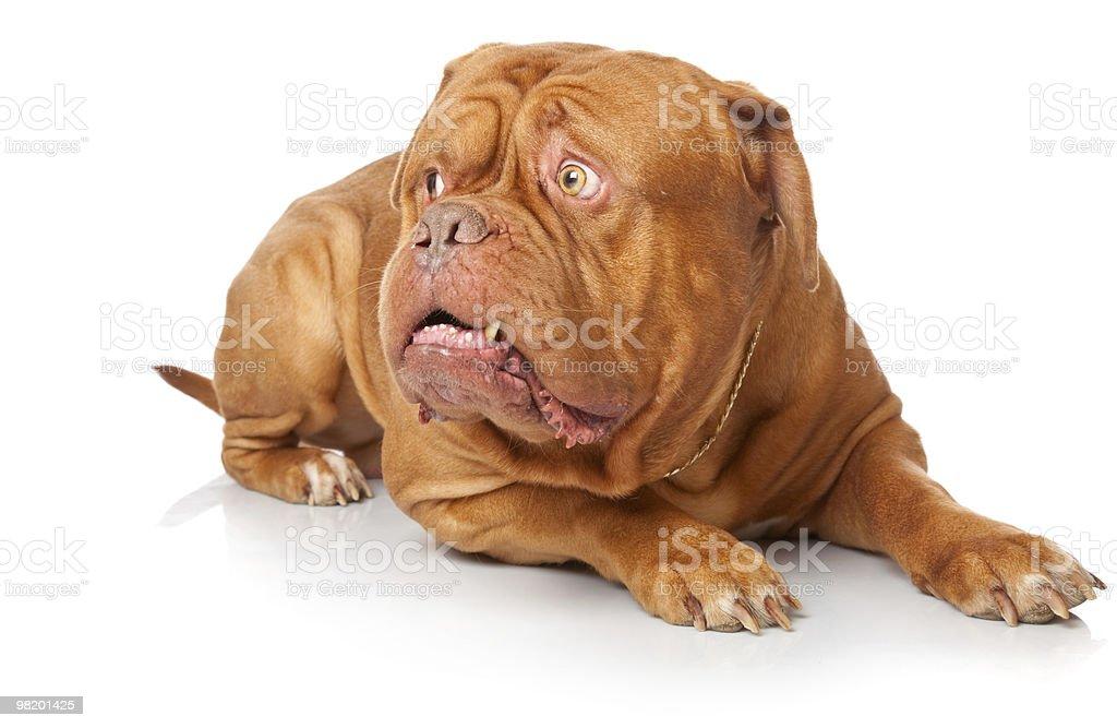 Dogue de Bordeaux (French mastiff) royalty-free stock photo