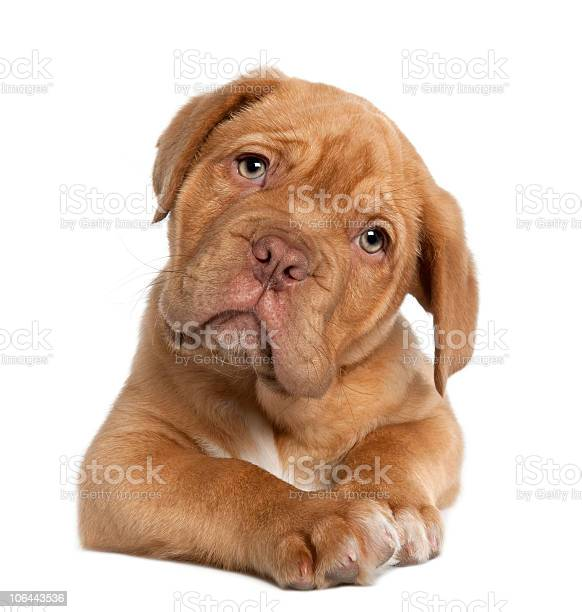 Dogue de bordeaux puppy 10 weeks old lying down picture id106443536?b=1&k=6&m=106443536&s=612x612&h=x0wz2 ppqexi6rrwdmufgebvfdezta4y17pbxjz9w6s=