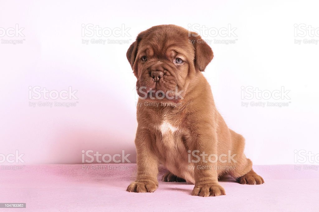 Dogue De Bordeaux puppy is sitting on a rose carpet royalty-free stock photo