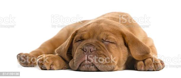 Dogue de bordeaux puppy lying and sleeping picture id514159136?b=1&k=6&m=514159136&s=612x612&h=kmmaumcwm9t0i3lmtko3cvewnyxeg3hgx67x3gdtsmq=