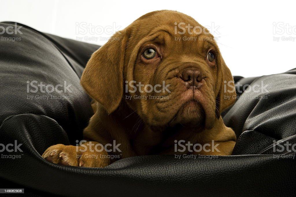 Dogue De Bordeaux puppy royalty-free stock photo