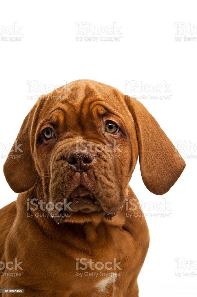 Dogue De Bordeaux puppy stock photo