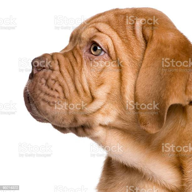 Dogue de bordeaux puppy picture id93216322?b=1&k=6&m=93216322&s=612x612&h=i00acicvlofcoho1uj6gxpnifgsoohminhhidwznff4=