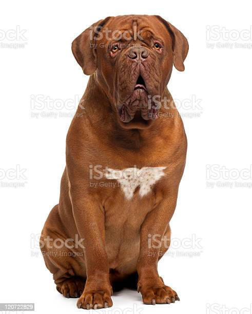 Dogue de bordeaux twenty months old sitting white background picture id120722829?b=1&k=6&m=120722829&s=612x612&h=s jckyimfujgx7pmcvmjlkom5bwe6kd7jdxkyyhybli=