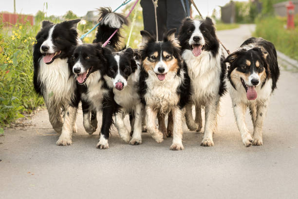 dogwalking with a pack of dogs - woman walks with many border collies stock photo
