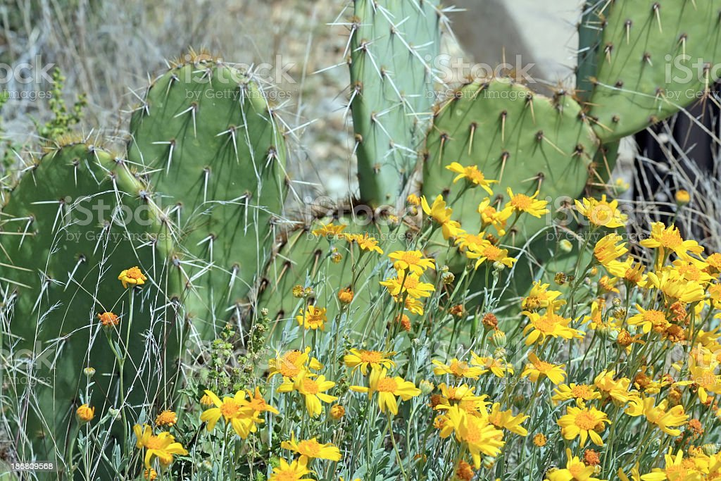 Dogweed Flowers and Prickly Pear Cactus royalty-free stock photo