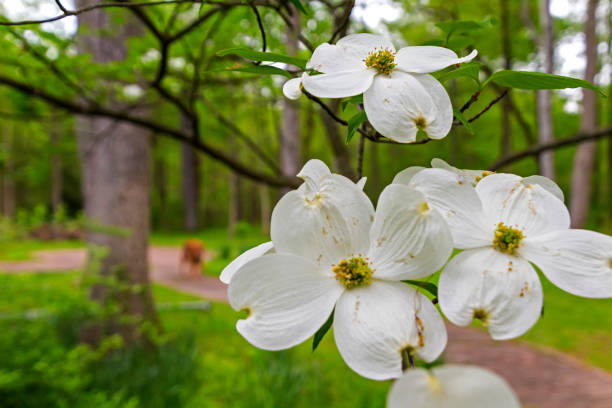 dogwood and dog - spring stock photos and pictures