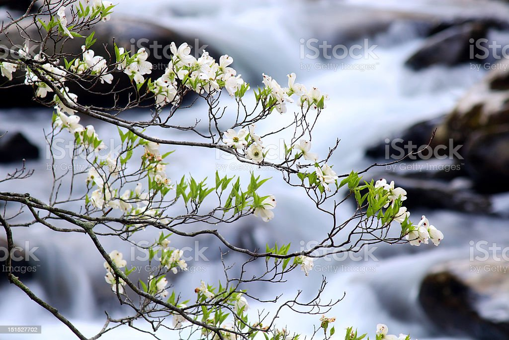dogwood blooms over stream royalty-free stock photo