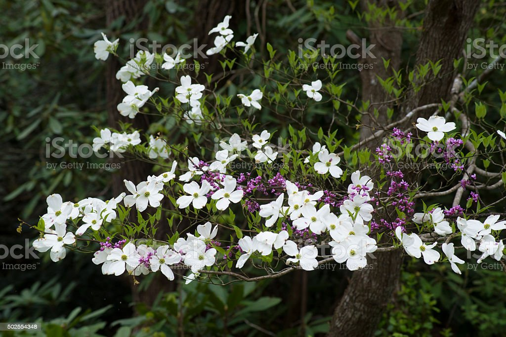 Dogwood blooms stand out against dark foilage. stock photo
