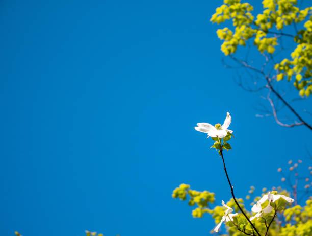 Dogwood blossom against a blue sky stock photo