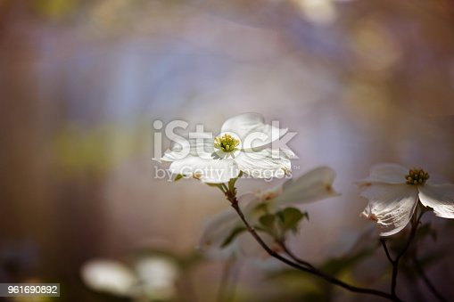 Focus on single dogwood blossom with surrounding bokeh.