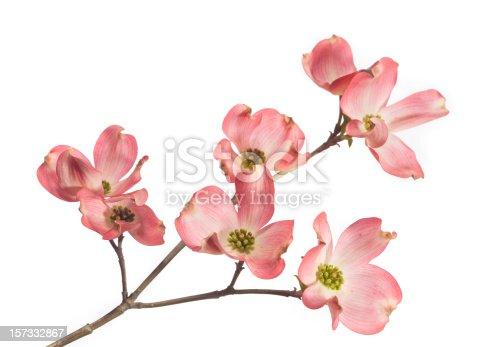 istock Dogwood Blossom 157332867