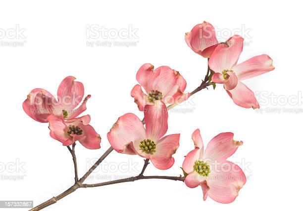 Photo of Dogwood Blossom