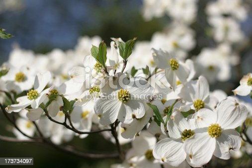 white dogwood flowers with green leaves
