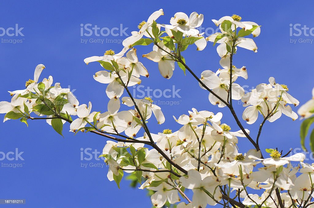 Dogwood blossoms against a blue sky stock photo