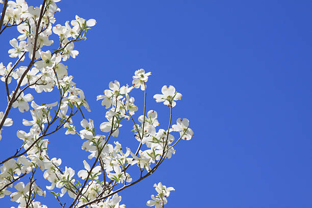 Dogwood Blossoms Against Blue Sky With Copy Space stock photo