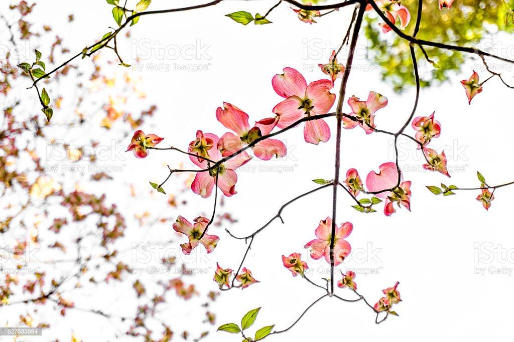 Dogwood Blossoms stock photo