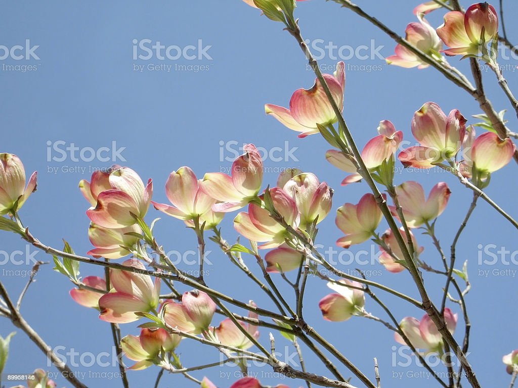 Dogwood Blossoms royalty-free stock photo