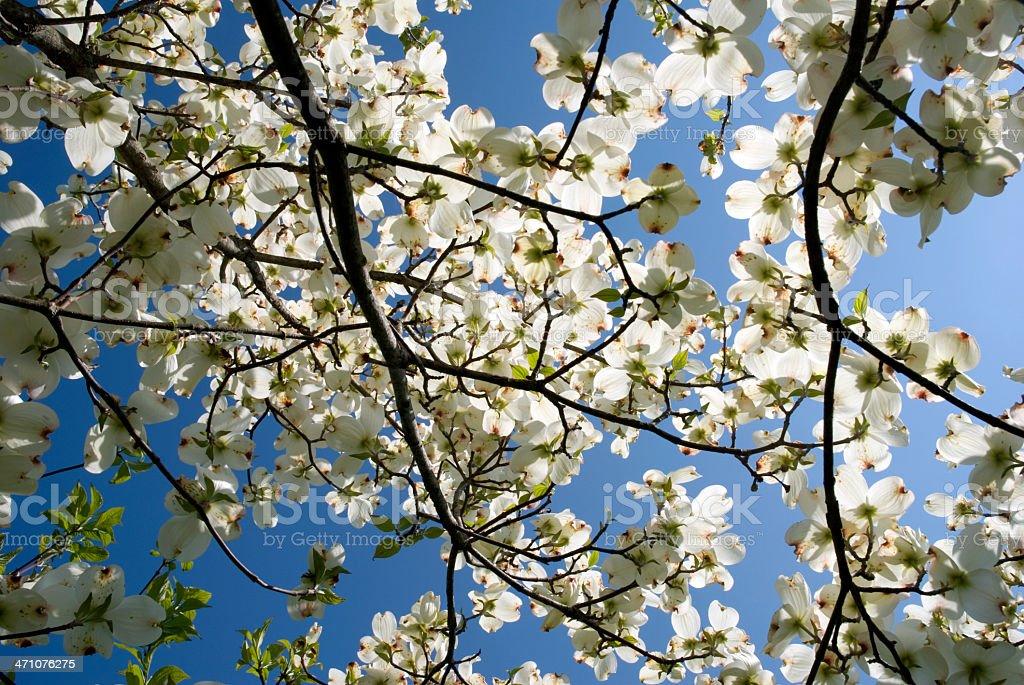 Dogwood Flowers stock photo