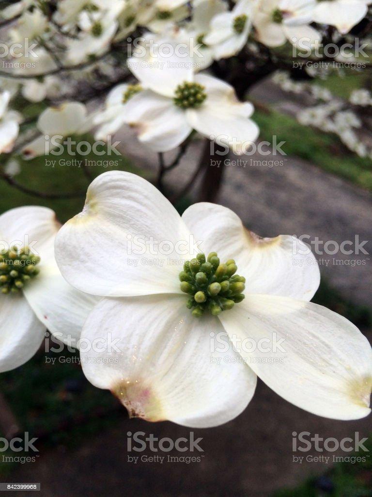 Dogwood in Bloom stock photo