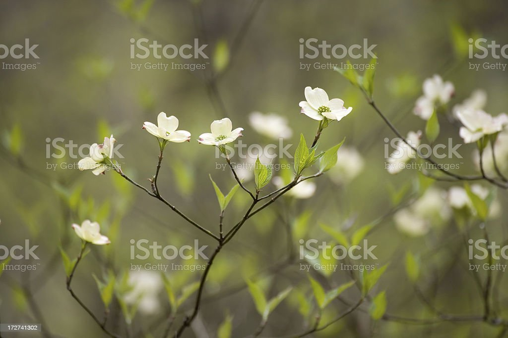 Dogwood Lullaby (XXL) royalty-free stock photo