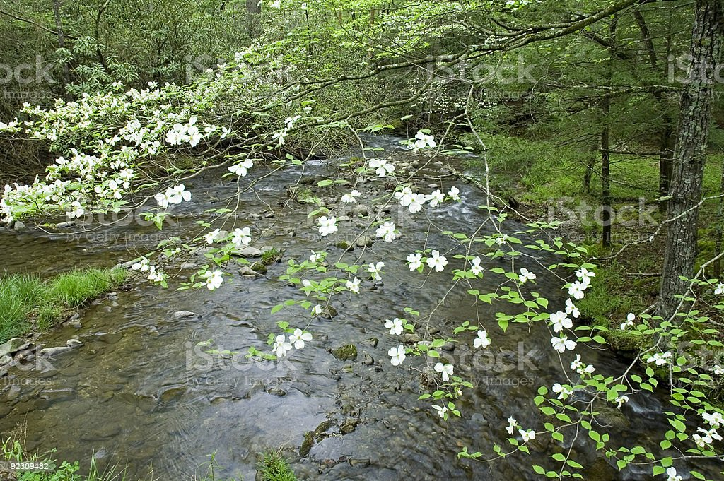 Dogwood, Spring, Cades Cove, Great Smoky Mtns NP stock photo