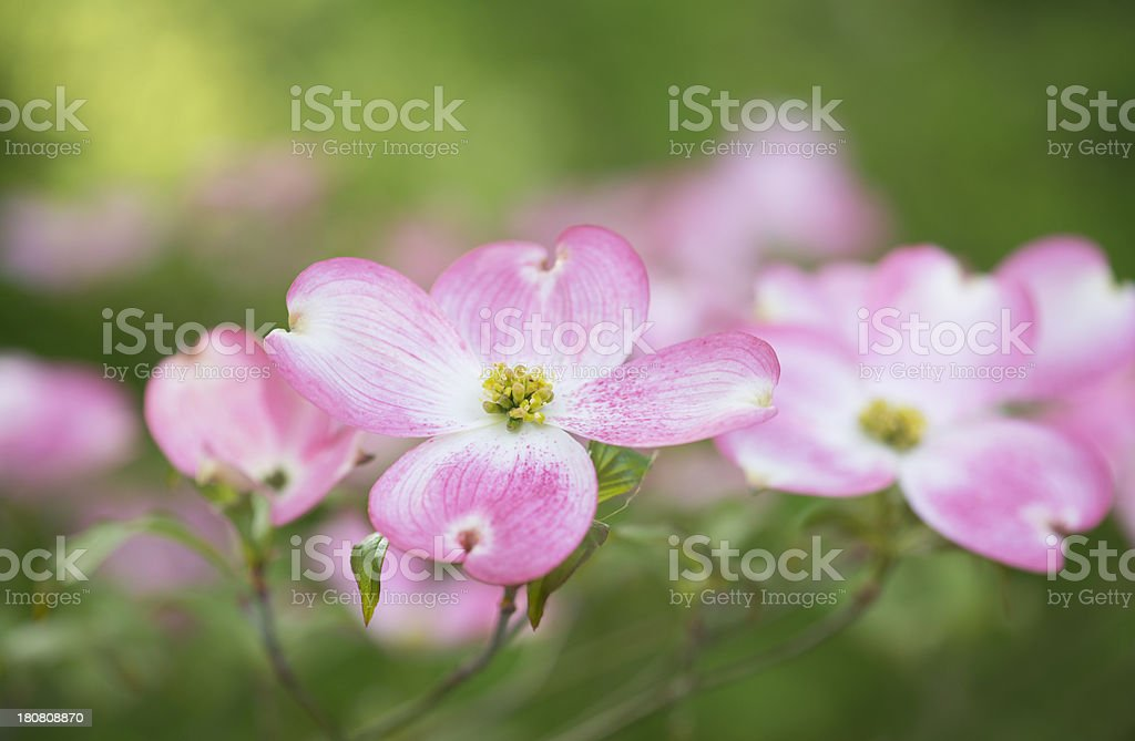 Dogwood tree flower blossoms against blurred nature background stock photo