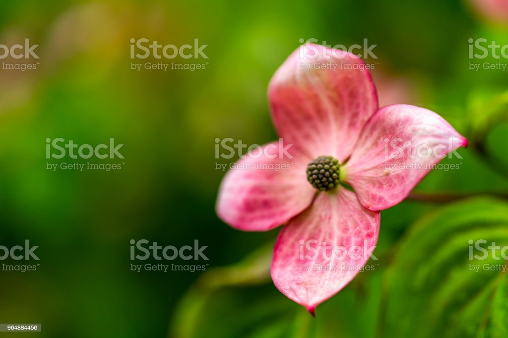 Dogwood tree flowers royalty-free stock photo