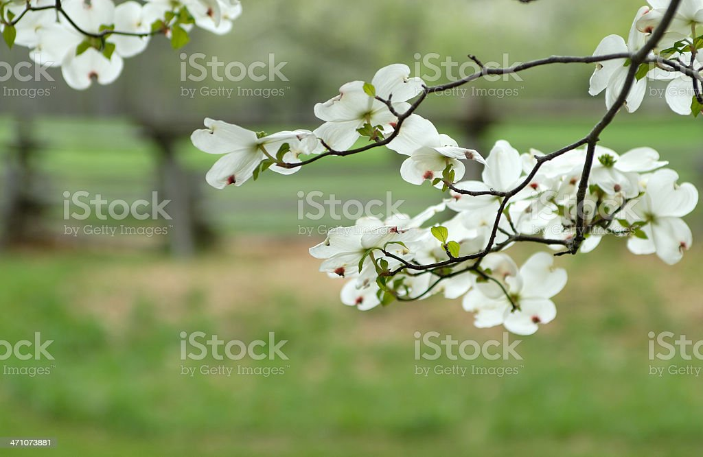 Dogwood Tree In Bloom Stock Photo More Pictures Of April Istock