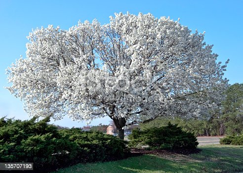Full blooming Dogwood Tree in southern Virginia in the spring.  State flower of Virginia. Horizontal, nobody.