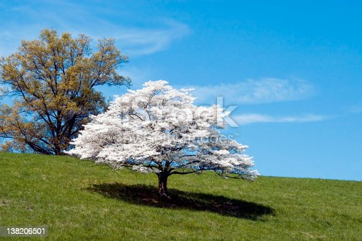 Dogwood Tree in full bloom.  Photographed in rural northern Virginia