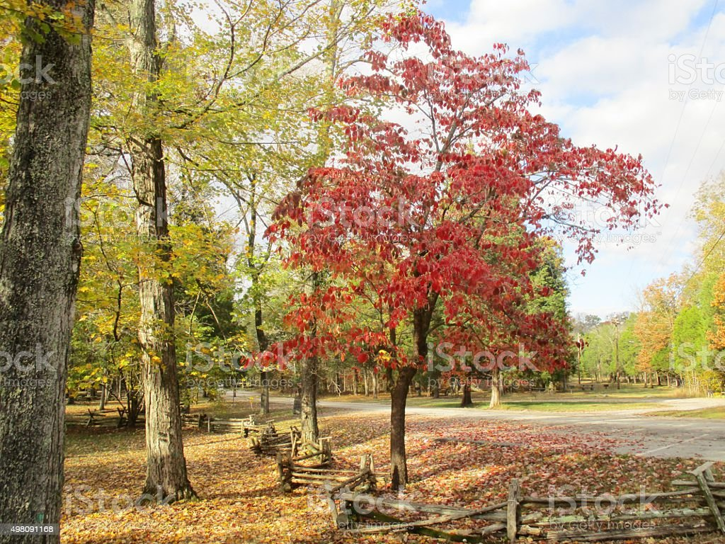 Dogwood Tree with Colorful Leaves in the Fall stock photo