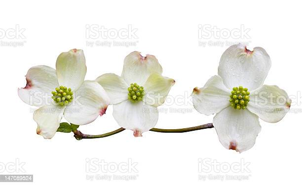 Dogwood with clipping path picture id147089524?b=1&k=6&m=147089524&s=612x612&h=0ofxpbypyhnsabfceed9 rgsd2itgxi6oyant8wevdo=