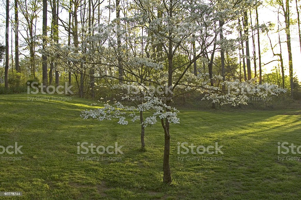 Dogwoods in Spring royalty-free stock photo