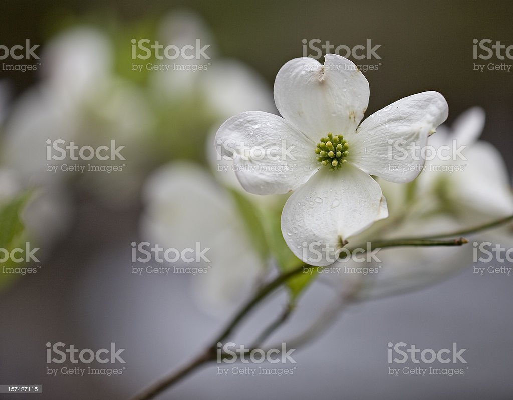 Dogwoods in the Smoky Mountains stock photo
