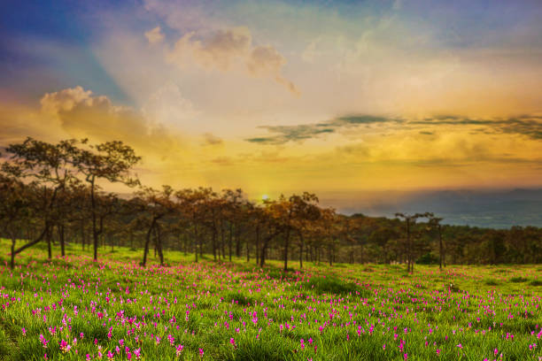 Dok krachiao or Siam-Tulip in Sai Thong National Park Chaiyaphum Thailand Public attractions